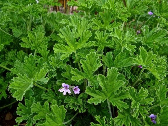 Eau florale de g ranium rosat la ferme des perbeaux - Quand planter les geraniums ...